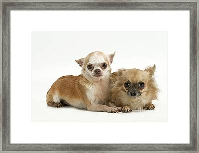Chihuahua Puppy Dogs Framed Print