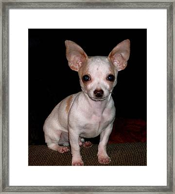 Chihuahua Puppy Framed Print by Maria Urso
