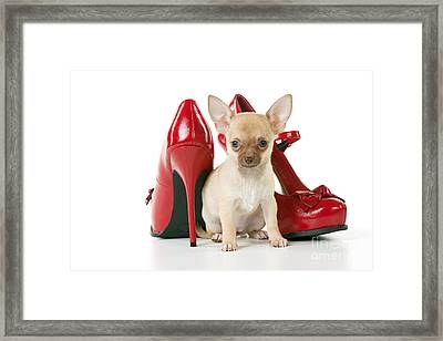 Chihuahua With Shoes Framed Print