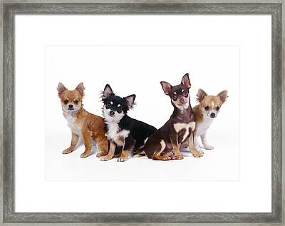 Chihuahuas Dogs Framed Print
