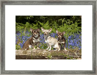 Chihuahuas In Bluebells Framed Print