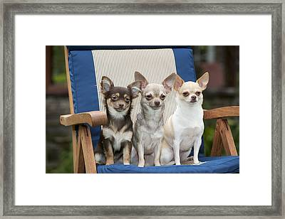 Chihuahuas On Chair Framed Print by John Daniels