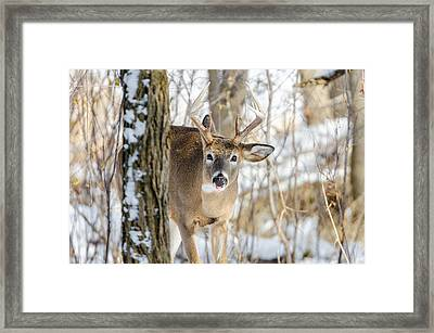 Framed Print featuring the photograph Childish Buck by Steven Santamour