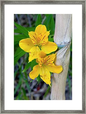 Chile South America Blooming Lilies Framed Print