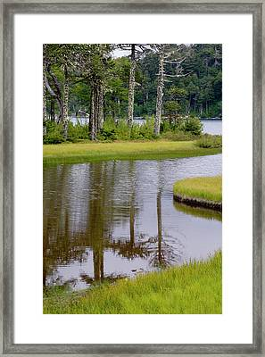 Chile South America Monkeypuzzle Trees Framed Print