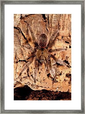 Chilean Beautiful Tarantula, Euathlus Framed Print