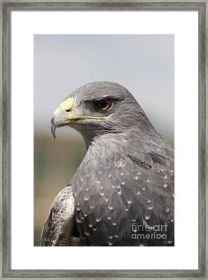 Chilean Eagle Framed Print