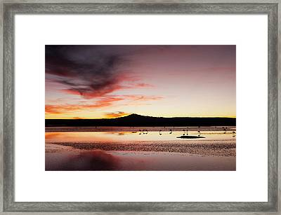 Chilean Flamingo, (phoenicopterus Framed Print