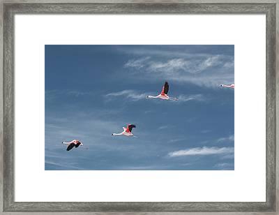 Chilean Flamingos In Flight Framed Print