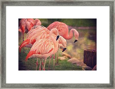 Chilean Flamingos  Framed Print by Maria Angelica Maira