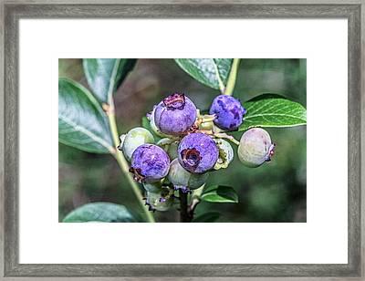 Chilean Guava (ugni Molinae) Fruits Framed Print