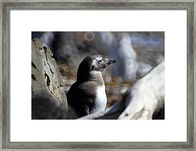 Chilean Penguin Framed Print