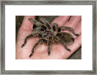 Chilean Rose Tarantula Held In Hand Framed Print