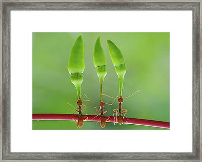 Chili Cilider Team Framed Print