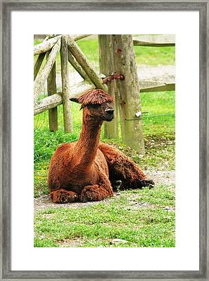 Chill-paca Framed Print by Christopher Hoffman