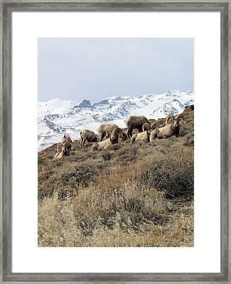 Chimney Rock Rams Framed Print