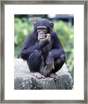 Chimp Sucking His Thumb Framed Print by Shoal Hollingsworth