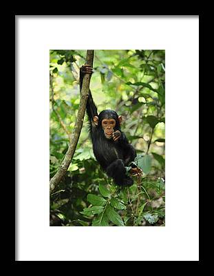 Gombe National Park Framed Prints