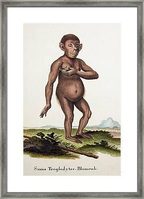 Chimpanzee (blumenbach) Framed Print