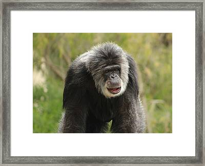 Chimpanzee Framed Print by Deana Glenz