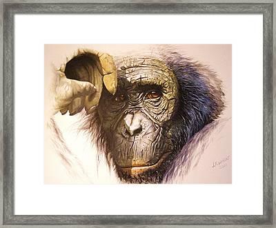 Chimpanzee Framed Print by Julian Wheat
