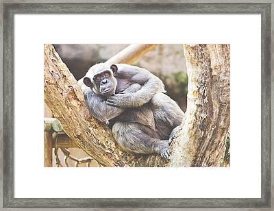 Chimpanzee Framed Print by Pati Photography