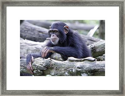 Chimpanzee Playing Framed Print by Shoal Hollingsworth