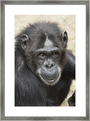 Chimpanzee Portrait Ol Pejeta Framed Print by Hiroya Minakuchi