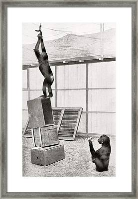 Chimpanzee Research Framed Print by American Philosophical Society