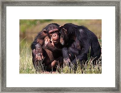 Framed Print featuring the photograph Chimpanzees Eating A Carrot by Nick  Biemans