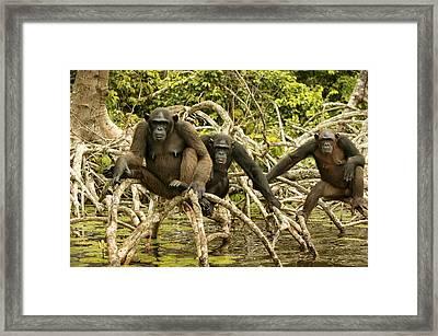 Chimpanzees On Mangroves Framed Print
