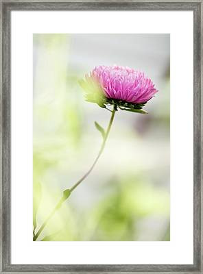 China Aster (callistephus Chinensis) Framed Print by Maria Mosolova
