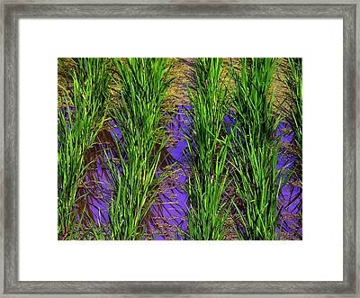 China Rice Framed Print by Jacqueline M Lewis