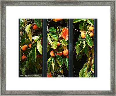 Chinatown Persimmons Framed Print by Pamela Patch