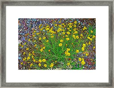 Chinchweed In Big Bend National Park-texas Framed Print
