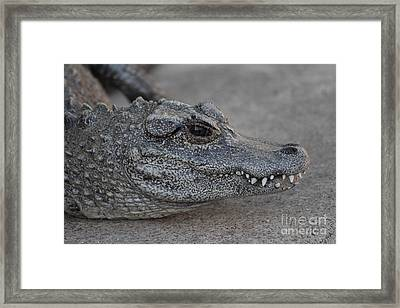 Chinese Alligator Framed Print by Ruth Jolly