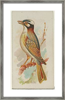 Chinese Bulbul, From The Song Birds Framed Print by Allen & Ginter