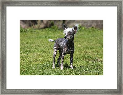 Chinese Crested Dog Framed Print