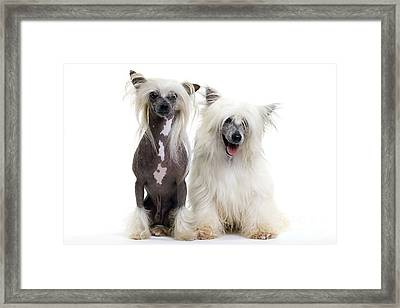 Chinese Crested Dogs Framed Print by Jean-Michel Labat