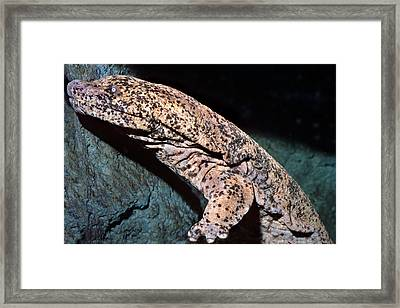 Chinese Giant Salamander Framed Print by Wernher Krutein