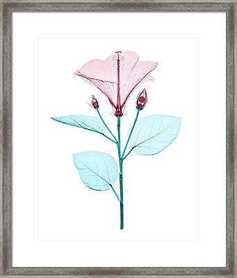 Chinese Hibiscus Flower Framed Print by Brendan Fitzpatrick