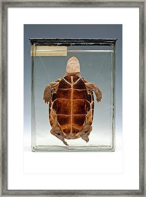 Chinese Pond Turtle Framed Print by Ucl, Grant Museum Of Zoology