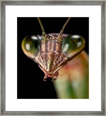 Chinese Praying Mantis Macro Closeup #6 Framed Print