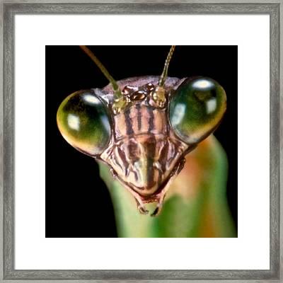 Chinese Praying Mantis Macro Closeup #7 Framed Print