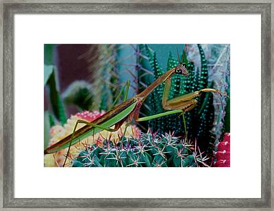 Chinese Praying Mantis Taking A Walk On A Cactus Plant Very Carefully Framed Print