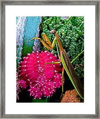 Chinese  Praying Mantis Walking Very Carefully On A Cactus Plant Framed Print