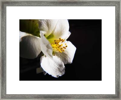 Chinese Quince Flower Framed Print by Joe Carini