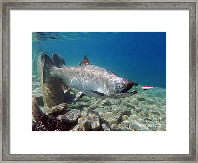 Chinook Salmon And Dardevle Framed Print