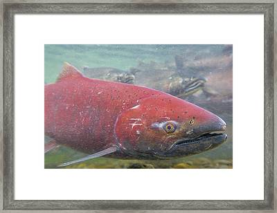 Chinook Salmon Up Close Framed Print