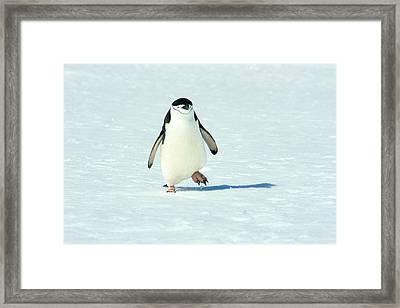Chinstrap Penguin Running Framed Print